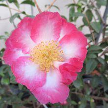 Learn About Camellias And Azaleas
