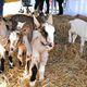 CUESA's 10th Annual Goat Festival