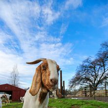 Animal Place Farmed Animal Sanctuary Weekend Stay