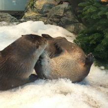 River Otter Snow Days  at Aquarium of the Bay