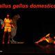 Gallus Gallus Domesticus