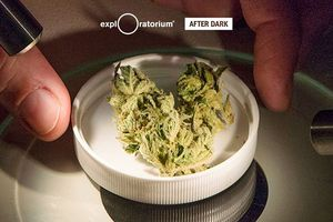 After Dark: Cannabis
