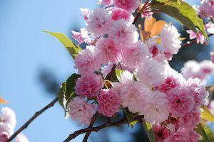 Cupertino Cherry Blossom Fe...