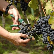 Provenance Vineyards Harvest Party!