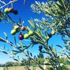 Olive This Olive That image