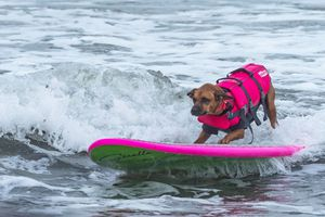 World Dog Surfing Champions...