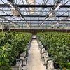 Harvest House of Cannabis (HOC) image