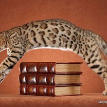 International Catshow - Catsgiving