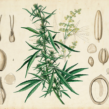 The Science of Cannabis: The Ethnobotany of Cannabis