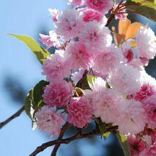 Cupertino Cherry Blossom Festival
