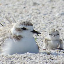 Snowy Plover Family Workshop